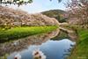 izu Cherry Blossoms (koshichiba) Tags: pink flower tree nature japan river cherry spring sakura 花 izu 春 さくら someiyoshino 伊豆 川 ソメイヨシノ matsuzaki bloosoms 静岡県 松崎町