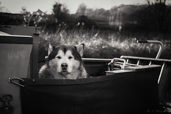 Stoic Dog (jon.a_hession) Tags: bw monochrome mono dog wildlife animal canalboat huskie d700 50mm nikon
