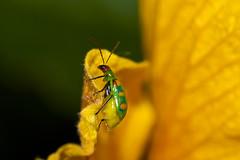 Bicho brasileiro (W(i)nter) Tags: bug beetle inseto vaquinha diabroticaspeciosa annettebeatrizbia