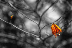Reincarnation (Chrisnaton) Tags: blackandwhite tree nature colors leaf spring dof bokeh treeoflife colorsofnature