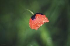 poppy (ang-yan) Tags: red water 50mm open sony wide drop grlitz poppy f18 oreston meyeroptik a5000 yanev angel