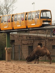 Bactrian Camel and Monorail - Chester Zoo (Gilli8888) Tags: animals mammal zoo cheshire chester camel monorail chesterzoo zoopark zooanimals bactriancamel