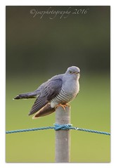 Migrant Visitor (cheffievrs) Tags: canon cuckoo cuculuscanorus borderfx 600mmf4lis 1dmkiv