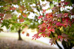 Crimson Autumn Leaves (Caramel Kisses Photography) Tags: autumn light sun nature beauty crimson leaves canon glow colours seasons bokeh australia adelaide southaustralia botanicgardens adelaidehills mtlofty