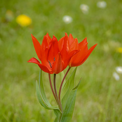 Rote Tulpe (Bluespete) Tags: flower rot germany square spring nikon blumen inge psi blume garten 1x1 frühling tulpe quadrat idstein d7100 petersieling 6322425 32143153 bluespete cvorgarten