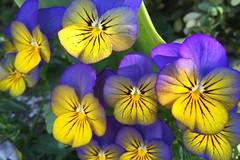 The beauty of Violas (peggyhr) Tags: canada vancouver spring bc violets mothernature violas thegalaxy 50faves peggyhr level1photographyforrecreation thegalaxyhalloffame thelooklevel1red thelooklevel2yellow thelooklevel3orange thelooklevel4purple thelooklevel5green thelooklevel6blue super~six☆stage2☆silver super~six☆stage3☆gold super~six☆stage4☆art rainbowofnaturelevel1red lovelylovelyphotosinternational~ level1peaceawards super~sixbronze☆stage1☆ 90faves~