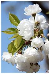 gefllte Vogelkirsche (Prunus avium plena) (Maggi_94) Tags: bume baum baumblte kirsche kirschen hallesaale rosaceae prunusaviumplena vogelkirsche rosengewchs rosengewchse thringerbahnhof