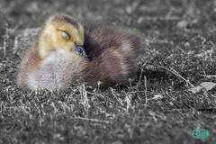 0421 IMG_5031 (JRmanNn) Tags: paradise lasvegas duckling canadian gosling sunsetpark