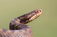 Adder (Vipera berus) (Ron Winkler nature) Tags: netherlands animal canon europe reptile snake nederland veluwe adder venomous slang vipera viperaberus berus reptiel 100400ii snakesofeurope snakesofthenetherlands