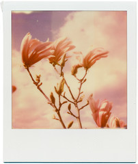 pink magnolia (somekeepsakes) Tags: flower film analog germany garden square polaroid sx70 deutschland spring europa europe blossom tip magnolia instant analogue blume blte garten frhling impossible expiredfilm 2016 magnolie sofortbild abgelaufenerfilm theimpossibleproject px680 px680colorprotection roidweek2016