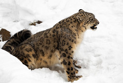 Show me happy... (ms2thdr) Tags: winter snow cold montana wildlife growl snowleopard kalispell controlledconditions aryaa tripledgamefarm