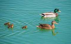 ducks family (08) (Vlado Fereni) Tags: birds animals lakes duckling ducks croatia animalplanet hrvatska nikond600 zaprei ducksfamily zajarki lakezajarki sigma150500563 ducksschool
