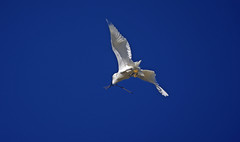 Soaring with Sticks (F.emme) Tags: birds snowyegret egrets