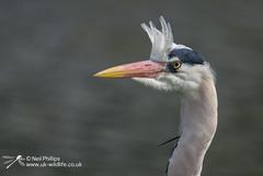 Grey Heron-2 (Neil Phillips) Tags: bird heron grey aves ardea longneck ardeacinerea longlegs ardeidae greyheron pelecaniformes cinerea neoaves