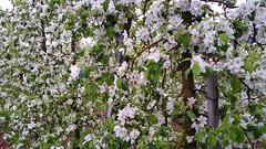 Sdtirol - South Tyrol (Italy) - Alto Adige - Italia > Apfelbaumblte 2016 in  Algund (Lagundo) (warata) Tags: italien italy alps italia blumen alpen baum sdtirol apfelbaum frhling altoadige southtyrol blten dolomiten 2016 apfelbaumblte