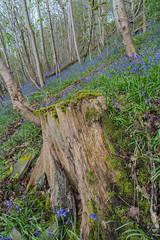 Bluebells (RD400e) Tags: trees bluebells zeiss canon t outdoors eos woods 5d gitzo ze distagon mk3 f2821