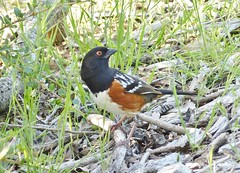 A couple of Spotted Towhees - hurray for the orange and black = go Giants!!! (barbara robeson) Tags: california orange black bird clayton canyon spotted mitchell mtdiablo towhee barbararobeson