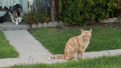 Wesley and Bodhi (flythebirdpath > > >) Tags: cats pets males felines