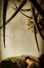 Kiss the Earth (flowerweaver) Tags: light woman selfportrait flower detail green nature grass leaves landscape natural sphere milkweed spherical earthday bugseyeview asclepiasasperula accidentalphoto unusualportrait spidermilkweed monarchbutterflyhostplant antelopehornmilkweed likeasnowcone likeageodesicdome