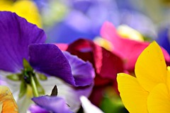 pansy abstract (heyjudephoto) Tags: morning flowers blue light red abstract macro nature up yellow spring colorful close purple pansy pansies