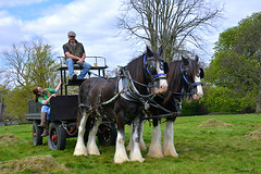 Making Hay While the Sun Shines (Eleanor (No multiple invites please)) Tags: horses london kensingtongardens hay shirehorses buckhill nikond7100 april2016