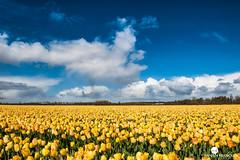 _DSC5631-bewerkt (*Annabellabella*) Tags: mill netherlands yellow nederland wolken lucht geel veld molen buiten tulipfield landschap bulbfield tulpenveld bloembollen bloembollenveld