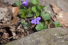 P1220011 (WhatsAllThisThen) Tags: flower nature purple hiking violet bearmountain wildflower
