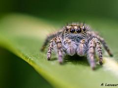 Aelurillus v-insignitus (Shoot Enraw) Tags: spider araigne macrophotographie