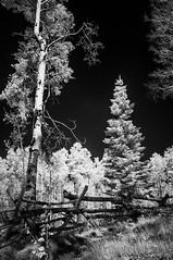 aspen vista fence 05Oct14 (johngpt) Tags: trees santafe tree fence aspen hff infraredfilter ~~fencefriday~~ fujifilmfinepixx100 zomeiir720filter aspenvistapicnicgroundandtrail