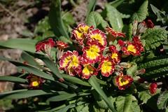 Primrose, yellow and red (dididumm) Tags: flowers red rot sunshine yellow garden spring gelb blume garten frhling primrose sonnenschein primel inbloom blhen schlsselblume primulavulgaris frhlingsblume burgfrieden