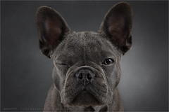 The wink (Marijke M2011) Tags: dog pet cute animal studio indoor hond frenchbulldog huisdier patience petportrait greydog dogportrait studiolightning hondenportret