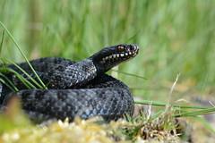 Black and Blue - melanistic male adder, Vipera berus (willjatkins) Tags: macro animal closeup spring snake viper snakes britishwildlife adder blackadder vipera melanistic viperaberus sigma105mm ukwildlife springwildlife britishsnakes britishreptiles closeupwildlife britishsnake melanisticadder macrowildlife uksnake uksnakes britishreptilesandamphibians ukreptiles nikond7100 britishherpetofauna ukamphibiansandreptiles ukreptilesandamphibians britishamphibiansandreptiles closeupadder snakesofeurope