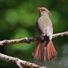 Female Northern Cardinal (TSnow27609) Tags: bird cardinal cardinaliscardinalis cardinalis northerncardinal cardinalrouge cardenalrojo cardenalcomn cardenalnorteo