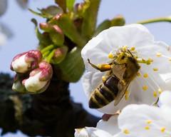 MM - 'P' for Pollen gatherer in cherry bloosom (hjoachim1) Tags: bee cherryblossom pollen biene kirschblte macromondays beginswiththeletterp