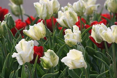IMG_7819 (Five eyes) Tags: flowers flower holland color nature beauty garden spring dof tulips beds michigan fresh neighborhood beginning tuliptime promise lanes 2016