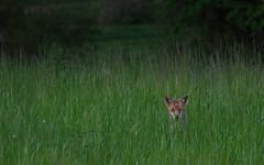 Fox (carlogaia) Tags: woods tramonto wildlife unesco curiosity langhe volpe roero boschi selvatica