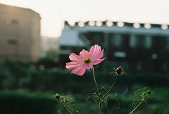 Flower (brianapluskyle) Tags: pink sunlight korea songtan