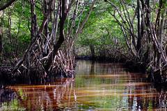 Mangrove bordered creek - everglades-2015-12-21 13.27.07 (Brian Eagar Nature Photography) Tags: winter nature creek forest outside december fuji florida mangrove everglades 2015 xt1 xf55200 fujixf55200