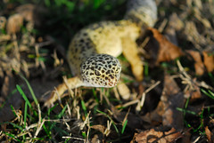 leopard gecko 3 (jerry425630) Tags: leopardgecko nikon70210f4seriese