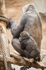 2015-12-31-10h32m51.BL7R5601 (A.J. Haverkamp) Tags: pee germany zoo gorilla leipzig sachsen peeing dierentuin plassen kumili westelijkelaaglandgorilla diara canonef100400mmf4556lisusmlens httpwwwzooleipzigde pobleipziggermany dob23012004 pobchessingtonengland dob11032014