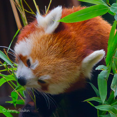 Red Panda Feeding (JKmedia) Tags: animal zoo tail bamboo redpanda climber captivity stripy 2015 blackpoolzoo ailurusfulgensfulgens n15c boultonphotography