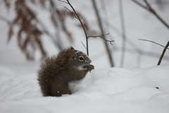 Red Squirrel (Robyn_C) Tags: ontario canada wildlife algonquin naturephotography wildlifephotography