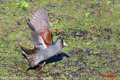 (688a) Spot-Flanked Gallinule - [ Bueno Aires, Argentina } (tinyfishy's World Birds-In-Flight) Tags: bird southamerica argentina flying inflight spot bueno gallinule franked airres spotflanked