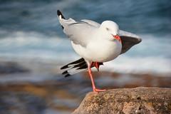 Balancing Gull (Luke6876) Tags: bird animal wildlife gull australianwildlife silvergull