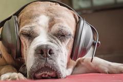 Dogs and Fireworks (Explore) (Vinicius_Ldna) Tags: brazil pet love dogs canon 50mm fireworks newyear explore headphones nina care caress anonovo londrina caes fogosdeartificio explored 10496 0496