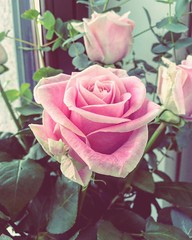 """""""An #idealist is one who, on noticing that a #rose smells better than a cabbage, concludes that it makes a better #soup."""" H.L. Mencken #thinkpink (antomonte) Tags: hl mencken thinkpink anidealistisonewhoonnoticingthatarosesmellsbetterthanacabbageconcludesthatitmakesabettersoup"""