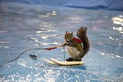 Twiggy waterskiing (suesthegrl) Tags: animal squirrel tricks waterskiing twiggy torontoboatshow boatshowto