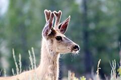_DW18492 (1).jpg (Upstate Dave) Tags: blacktailplateaudrive deer majorplaces mammals muledeer places roadsanddrives yellowstone yellowstonenationalpark 2013