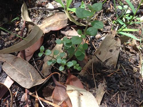 Somersby Mint Bush Seedling