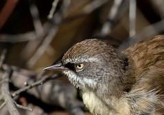 white-browed scrubwren (Sericornis frontalis)-5500 (rawshorty) Tags: birds australia canberra act rawshorty